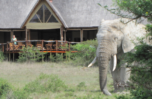 Bush_Lodge_Amakhala_Game_Reserve_Deck_View_Elephant