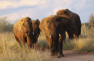 Safari-plains-wildlife-elephant3