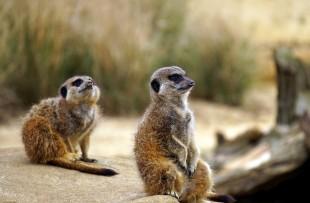 meerkat-1392861